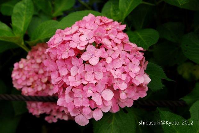 20120628_Kyoto-300_三室戶寺_1