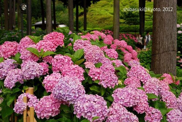 20120628_Kyoto-309_三室戶寺_1