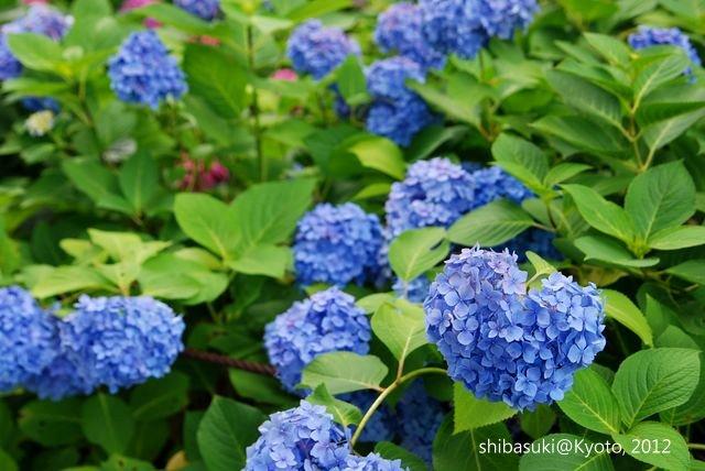 20120628_Kyoto-313_三室戶寺_1