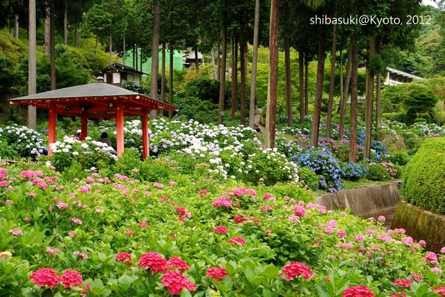 20120628_Kyoto-321_三室戶寺_1