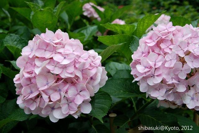 20120628_Kyoto-333_三室戶寺_1