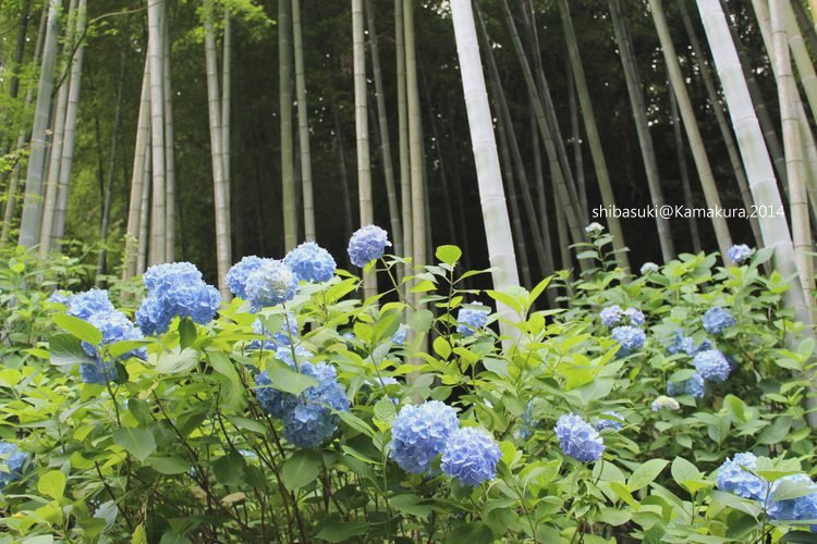 20140616_Kamakura-148_明月院_1.JPG