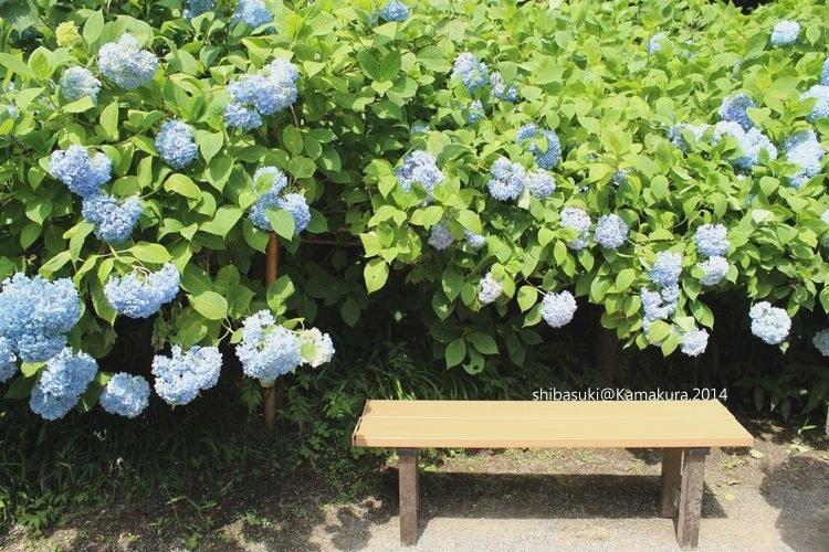 20140616_Kamakura-99_明月院_1.JPG