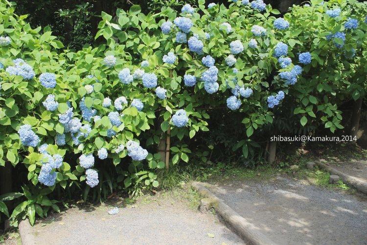 20140616_Kamakura-100_明月院_1.JPG