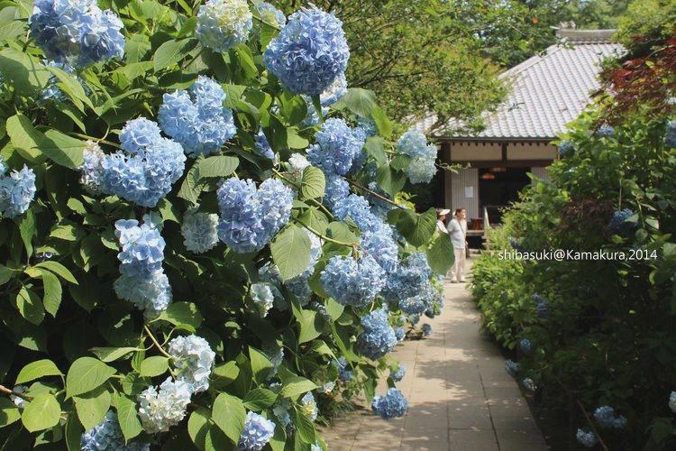 20140616_Kamakura-110_明月院_1.JPG