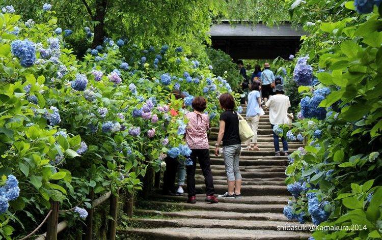 20140616_Kamakura-136_明月院_1.JPG