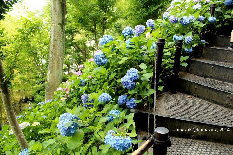 20140617_Kamakura-80_長谷寺_1
