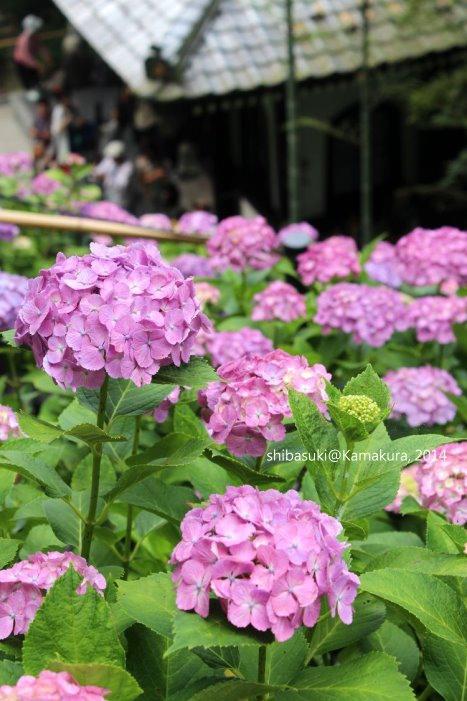 20140617_Kamakura-113_長谷寺_1