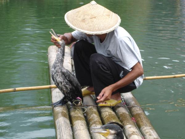 魚鷹抓魚-3