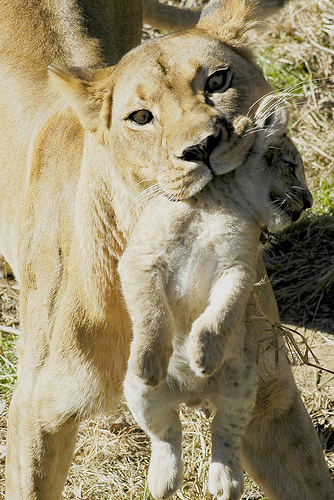 lion go limp