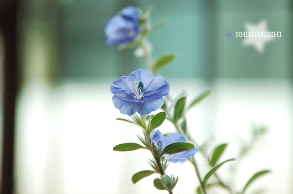 藍星花 (1).JPG