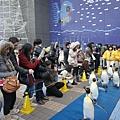 驕傲的企鵝們,瞧牠們走路多麼高傲