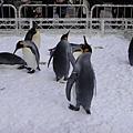 活生生的企鵝在戶外給大家看