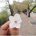 櫻花長這樣