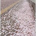 又一個櫻花片片