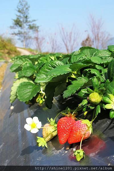 苗栗採草莓一日遊 【汶水老街+泰安石水坊高冷草莓+草莓博物館+雪霸國家公園】
