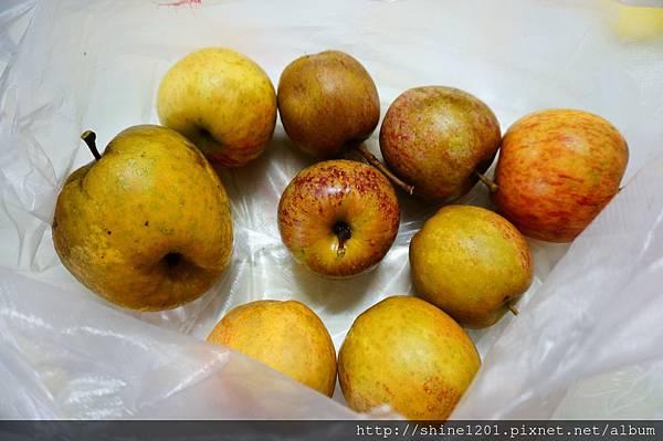 梨山採果 尚品果園  採雪梨、蜜蘋果