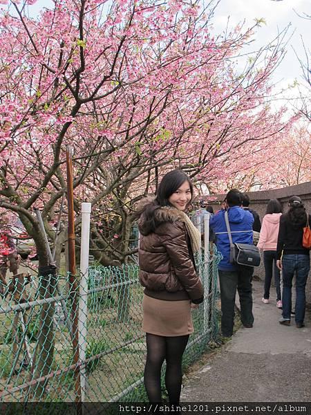 陽明山櫻花季【平菁街42巷】