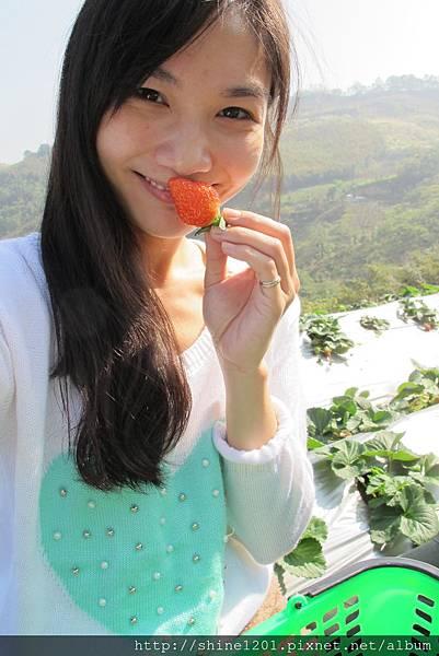 苗栗採草莓一日遊