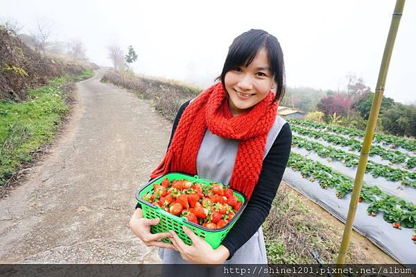 【苗栗採草莓】訪泰安石水坊高山冷草莓二訪  無敵美景採苺體驗