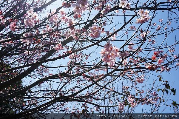 【新店賞櫻】騰龍御櫻 新店木柵線千株櫻花林2015/2/13櫻花花況