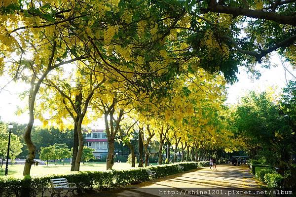 【屏東阿勃勒黃金隧道】屏東榮民之家阿勃勒黃金雨.屬於夏季的浪漫色調