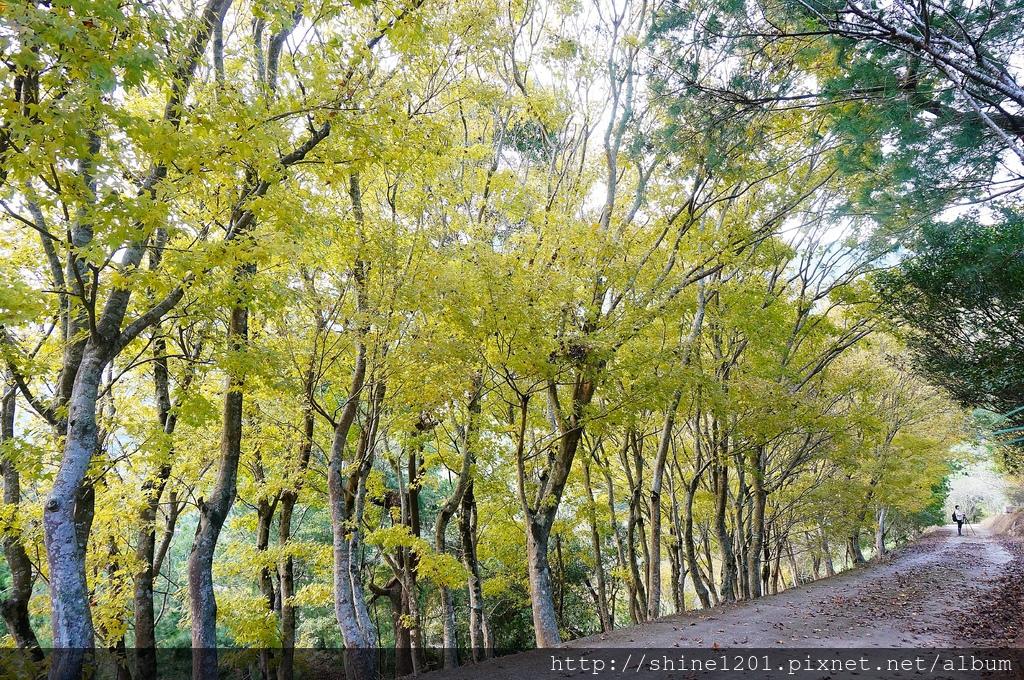 楓林社區黃金楓