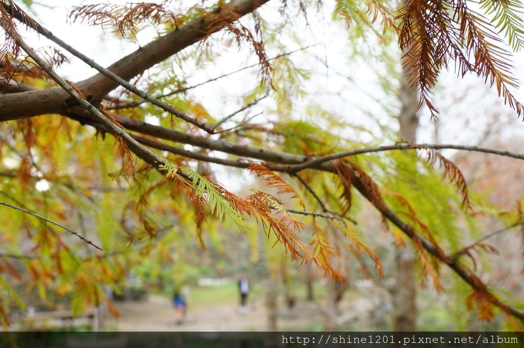 花蓮落羽松景點 鈺展苗圃 壽豐鄉景點 東華大學附近景點