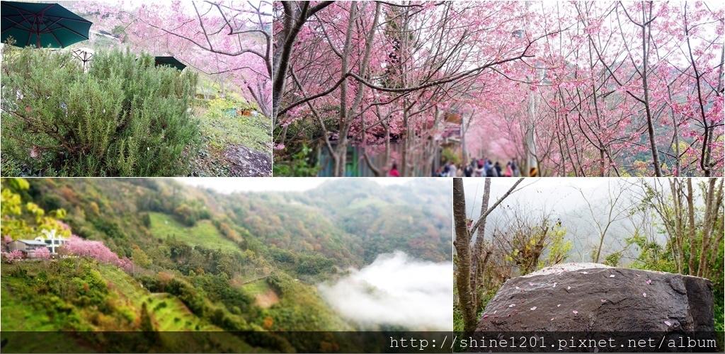 桃園復興鄉景點-中巴陵櫻木花道