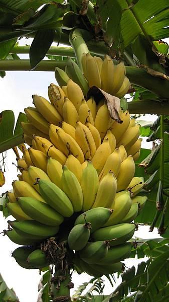 旗山-香蕉