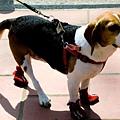 超可愛的小狗 他有穿襪子耶!!! 超Q啦