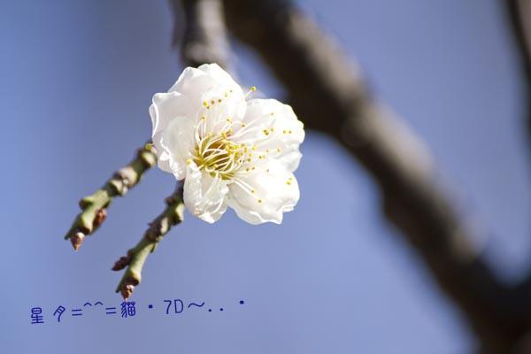 梅--貓・7D-2013