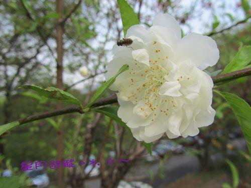 木柵杏花林