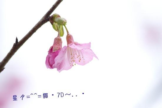 桜・梅2014沖繩