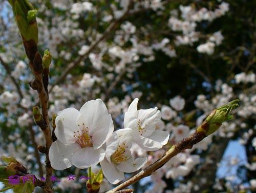 醍醐寺-桜