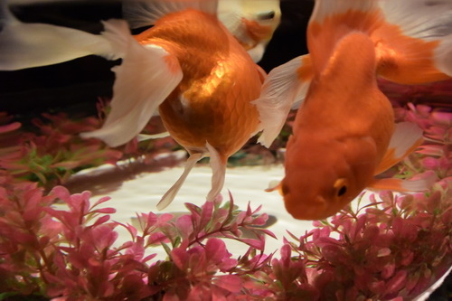 c1金魚展二条城     (17)