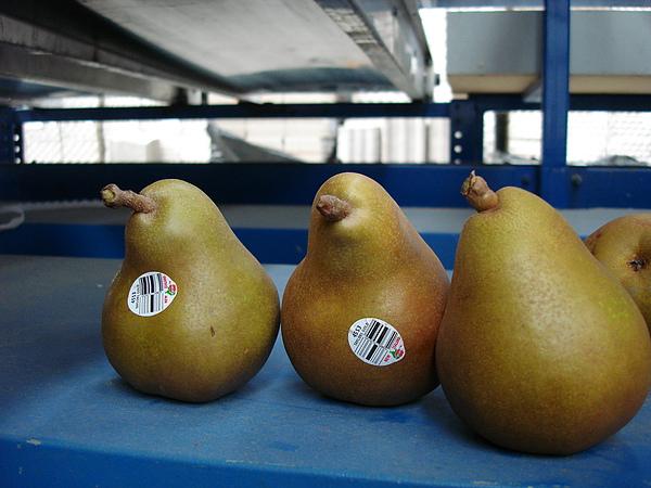 這是長得像企鵝(或小雞)的梨子
