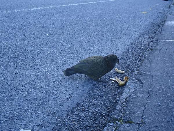 正在享受的高山鸚鵡Kea