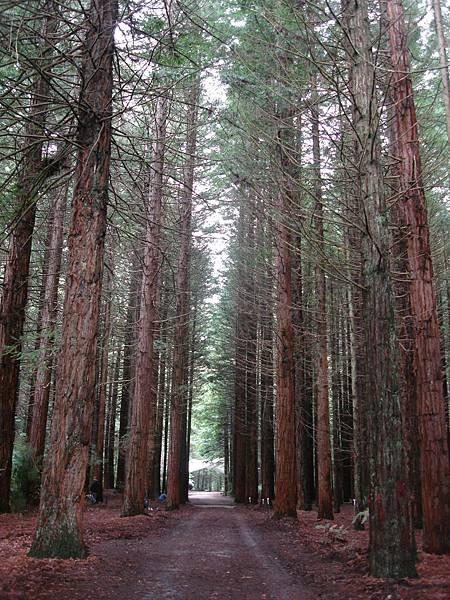 Redwoods是很美的樹林