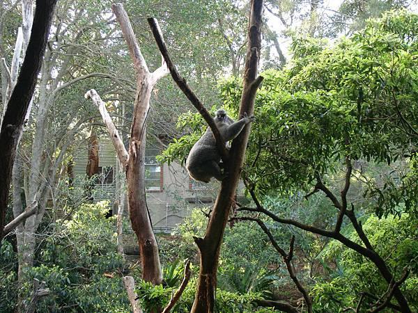 Koala!!!!!!!!