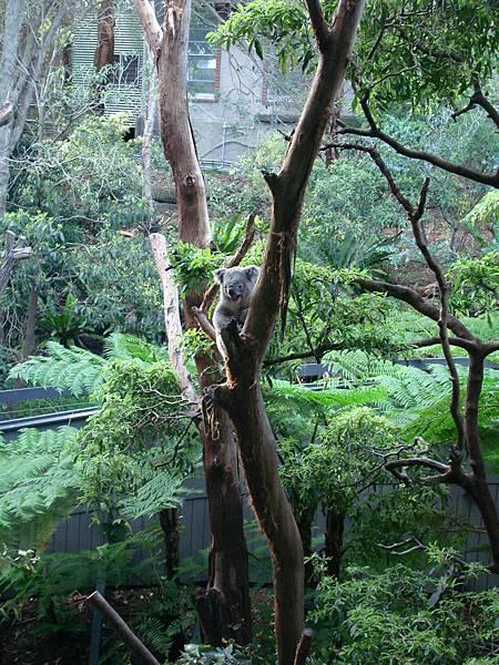 爬下樹的無尾熊