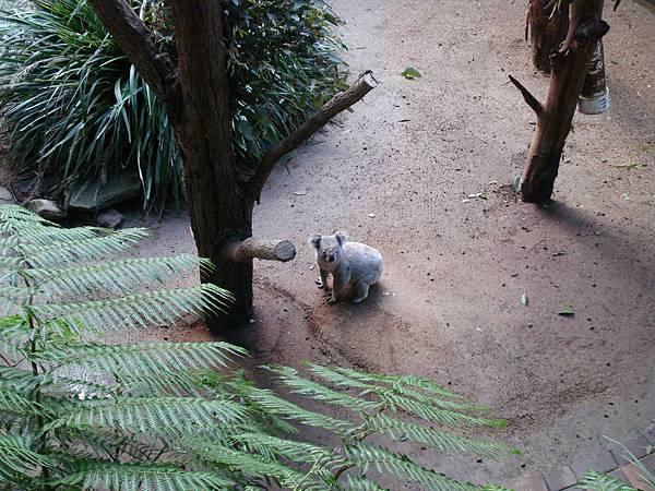 在地上爬的無尾熊!