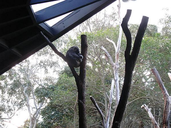 卡在樹枝中間睡覺的無尾熊