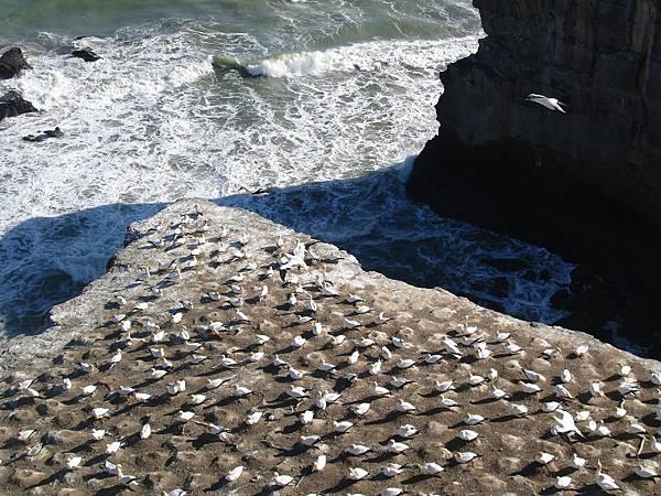 又是滿滿的塘鵝