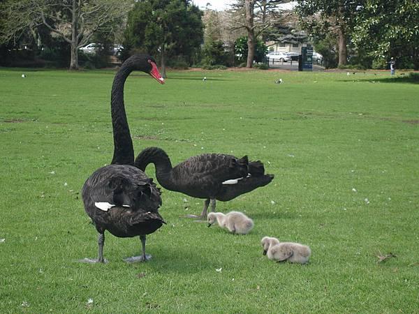 黑天鵝夫婦與毛茸茸寶寶
