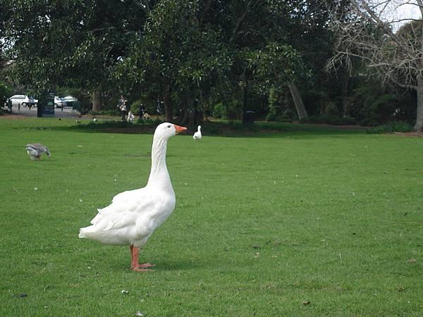 雄赳赳氣昂昂的白鴨子
