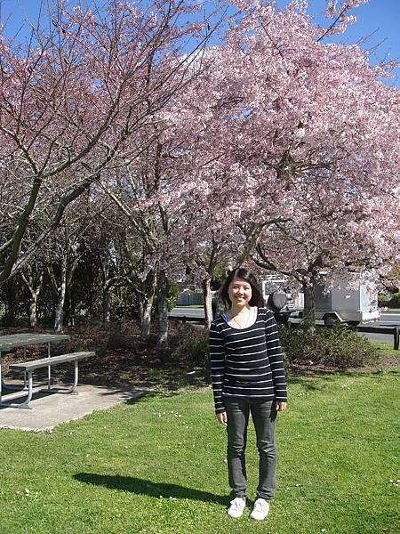 初春的北島四處櫻花盛開