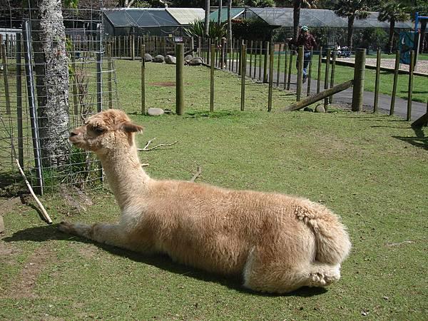 alpaca還是這樣可愛