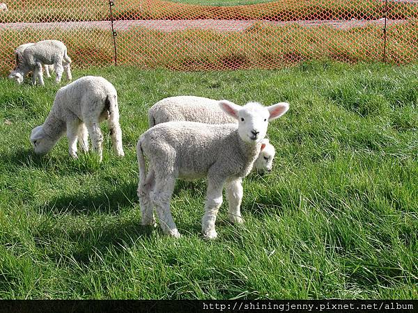 還有人類飼養的小羊咩