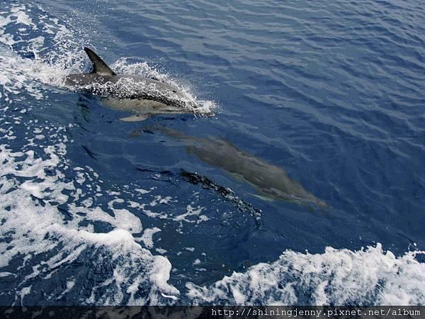 前往白島搭船時遇上一群海豚